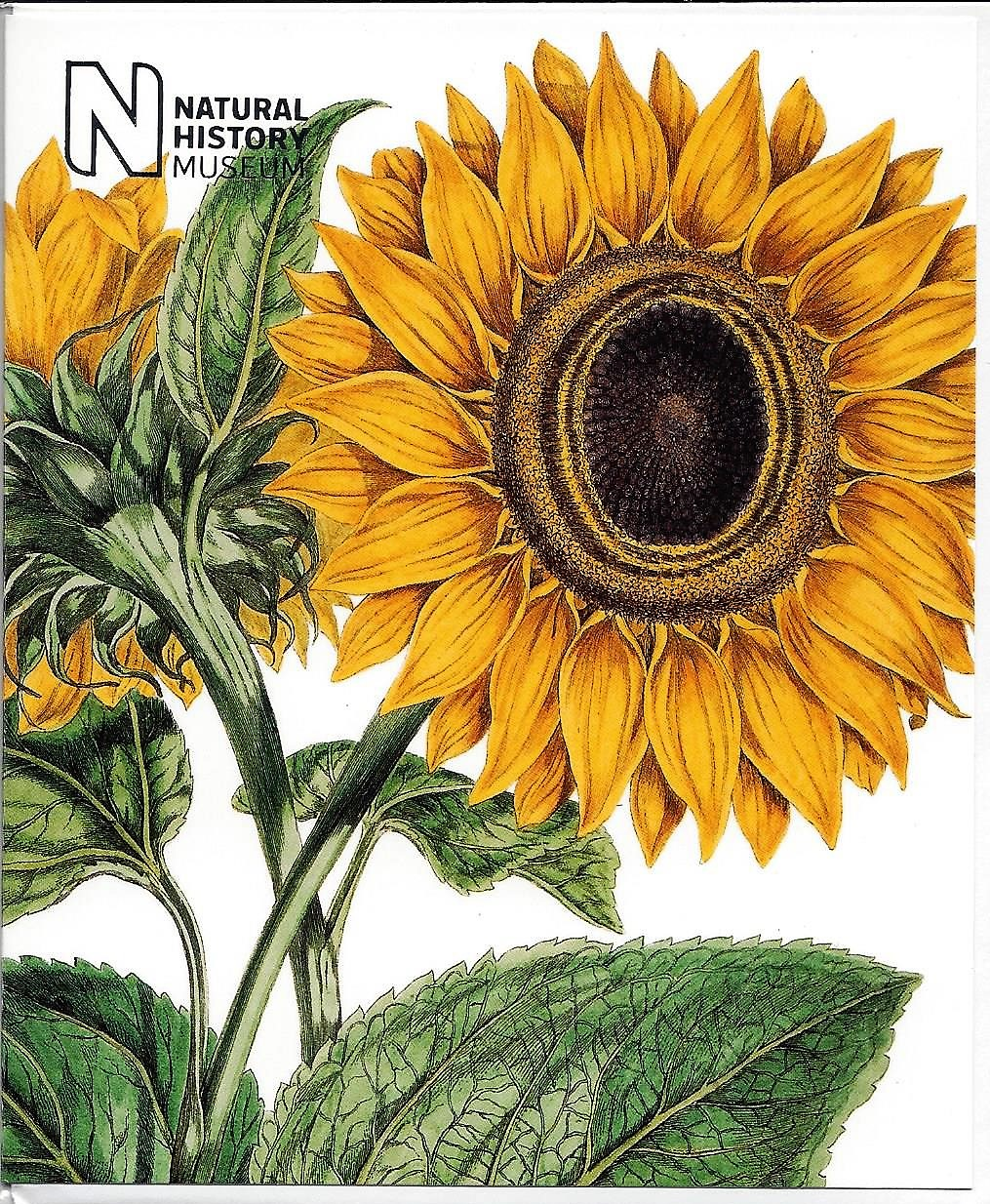 Image for Helianthus annus, Sunflower ~ John Miller 91715-c 1790) [NHM 361]